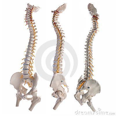 Free Spinal Column Stock Photography - 18221202
