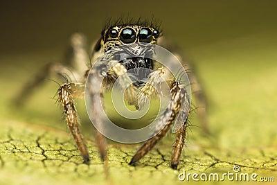 Spindel för Salticus scenicusbanhoppning