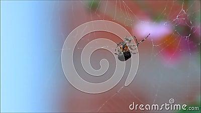 Spindel med rovet på en spindelrengöringsduk