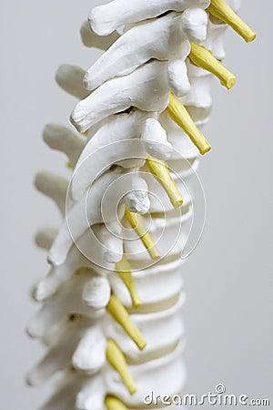 Free Spine Model Up Close Stock Photos - 9384043