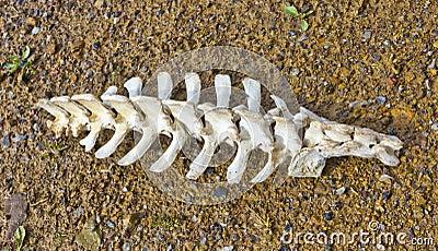 Spine Vertebrae