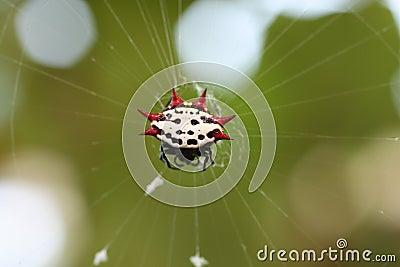 Spiney orb weaver spider