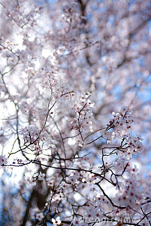 Free Sping Blossom Royalty Free Stock Photo - 22714685