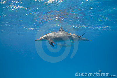 Spinner dolphins in the wild.