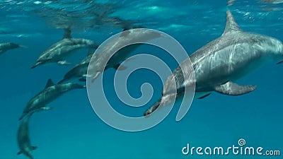 Spinnerdolfijnen die snorkelers overgaan stock footage