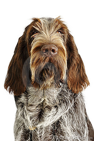 Free Spinone Italiano Stock Image - 3574871