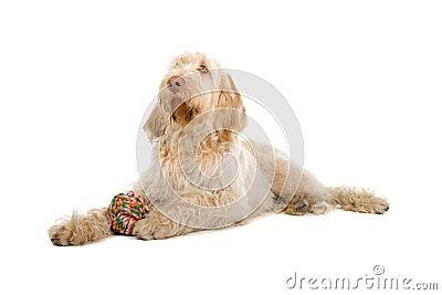 Spinone Italiano dog