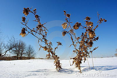 Spiny burdock on snow field