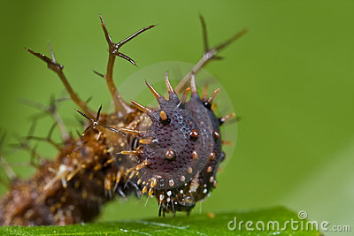 A spiny, dark brown caterpillar