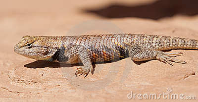 Spiny Lizard