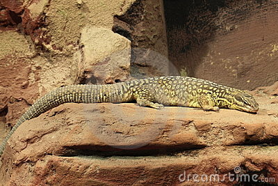 Spiny-tailed monitor