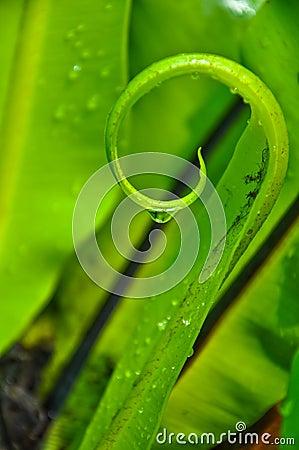 Spiral of Bird s Nest Fern Leaf