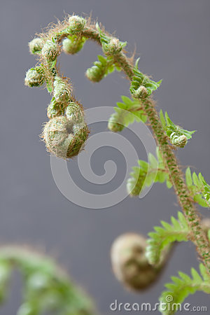 Free Spiral Fern Frond Stock Photography - 29770272
