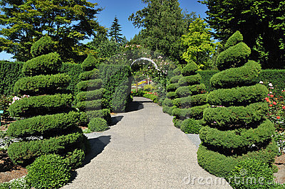 Spiral juniper trees in rose garden