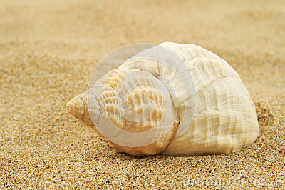 Spired conch shell on the sand