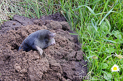 Spirng mole  and molehill