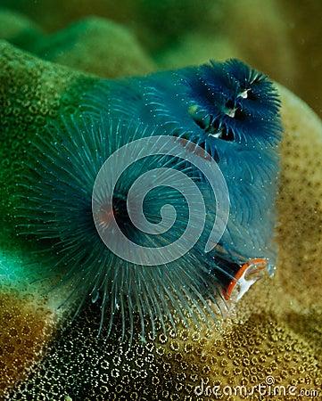Spirobranchus giganteus, Christmas tree worm