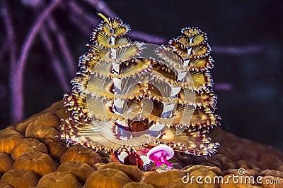 Bilderesultat for spirobranchus giganteus
