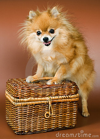 Spitz-dog with a bast basket
