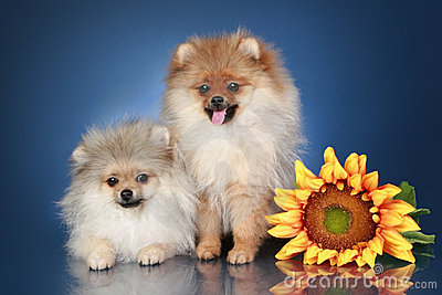 Spitz Puppies (5 months) with sunflower