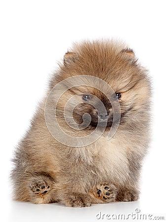 Spitz puppy close-up portrait