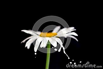 Splashing chamomile