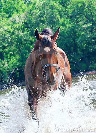 Splashing nice bay mare in river