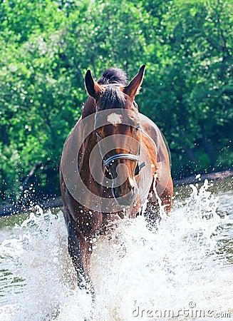 Splashing nice bay mare in river