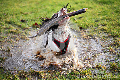 Splashing wet dog in puddle