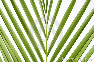 Splayed palm leaves