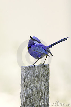 Splendid fairy-wren bird
