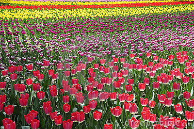 Splendid Tulip land in blooming
