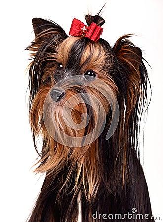 Splendid yorkshire terrier portrait