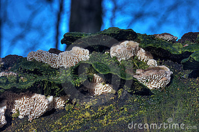 Split Gill (Schizophyllum Commune)