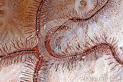 Sponge brittle star (ophiothrix suensonti)