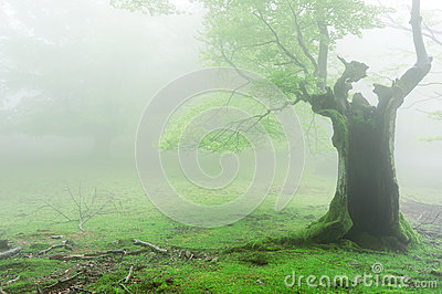 Spooky hollow tree with fog