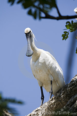 Free Spoonbill Stock Photo - 8863440