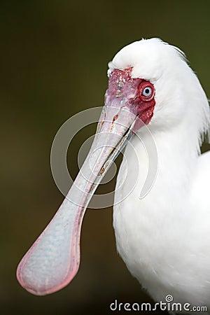Spoonbill Bird