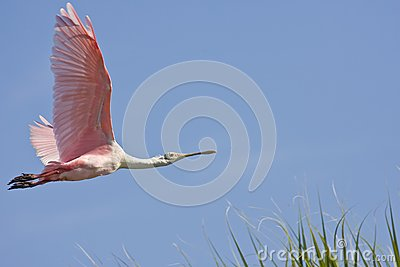 A Spoonbill flying over the road