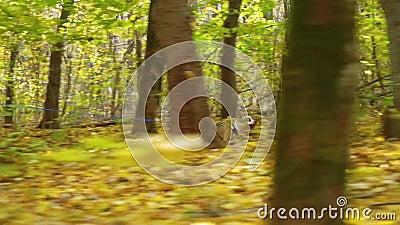 Sportswoman y American Staffordshire terrier canicrossing en el bosque de otoño metrajes