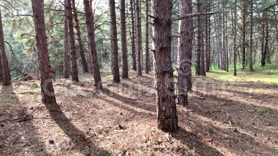 Spostarsi in una foresta di pini Trasformare il deserto in boschi di alberi e sole mattutino Riserva per l'ambiente e l'ecologia archivi video