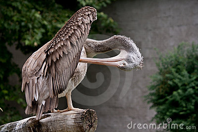 Spot-billed Pelican Royalty Free Stock Photos - Image: 21934648