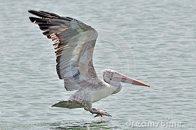 Spot-billed Pelican bird