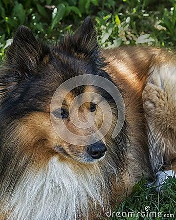 Free Spot The Shetland Dog Royalty Free Stock Photography - 30936037