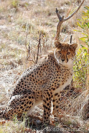 Spotted African Cheetah