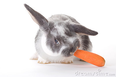Spotted bunny eating a carrot, isolated