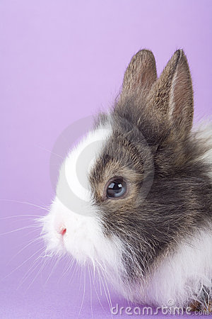 Spotted bunny isolated on purple