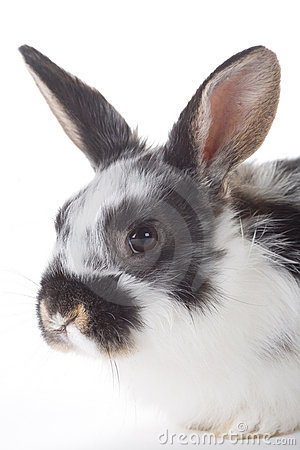 Spotted bunny portrait, isolated
