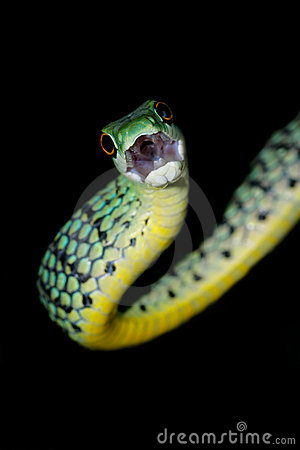 Free Spotted Bush Snake Royalty Free Stock Photography - 6749917