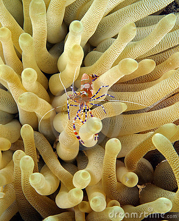 Free Spotted Cleaner Shrimp (periclimenes Yucatanicus) Stock Photo - 4778440